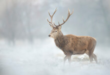 Close Up Of A Red Deer Stag In...