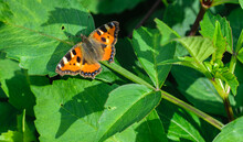 The Red Admiral Butterfly Clos...