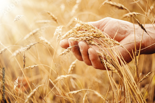 Makro macro golden barley ears in hands of farmer in field