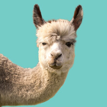 Funny Alpaca Llama Isolated On...