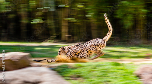 Photo Cheetah chasing a toy with a blur to accentuate the motion.