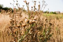Silybum Marianum (cardus Marianus, Milk Thistle, Blessed Milkthistle, Marian Thistle, Mary Thistle Or Scotch Thistle) Dry Flowers On A Beautiful Blurry Background