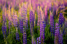 Lupine Field With Pink Purple ...