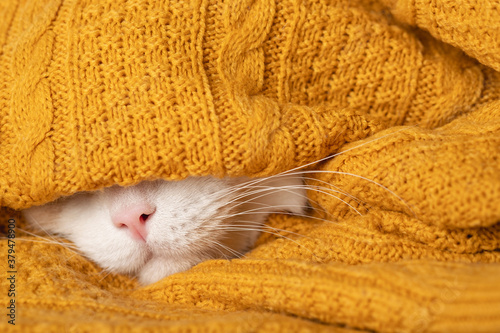 Fototapeta A funny sleepy cat is preparing for a cold autumn, winter. Beautiful white muzzle of a cat with pink nose and long mustache sticks out of a warm blanket, sweater. Home comfort concept, heating season obraz