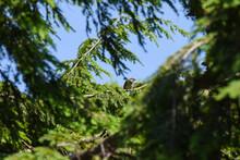 Bird In The Pine