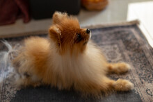 Pomeranian Breed Dog Excitedly Waits For Food