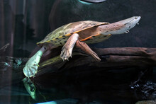 Turtle Swims In A Large Aquari...