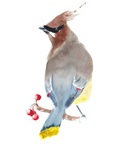 Cedar Waxwing Bird Watercolor Painting Greeting Card Isolated On White Background