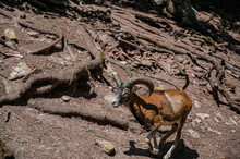 A Mountain Mouflon In A Dry Field