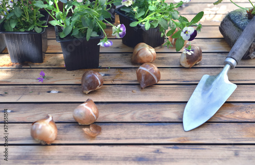 Fototapeta bulbs of flowers on a garden table withflowers potting and shovel