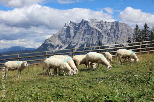 Herd of Sheep in the European Alps. Tyrol. Austria Canvas Print