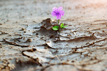 Purple Flower Growing On Crack Street, New Life, Hope Concept.