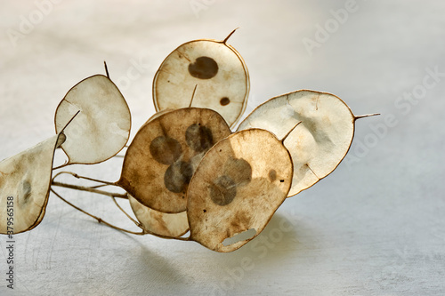 Fotografie, Obraz Closeup of dry seed pods of lunaria with seeds visible