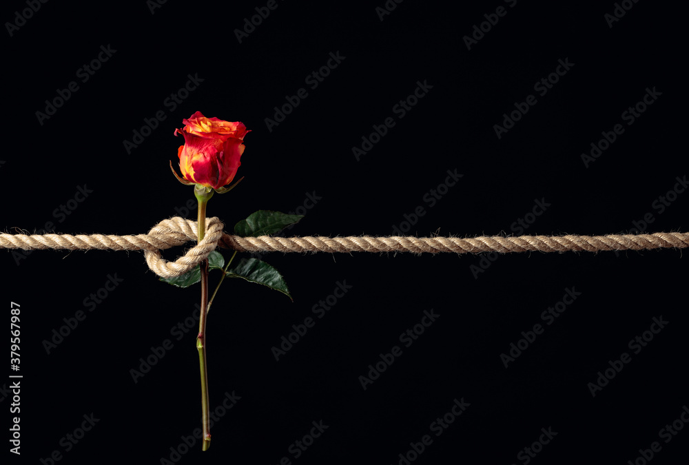 Fototapeta Red rose is tied with a rough rope. The concept of slavery or hostage, restriction of freedom.