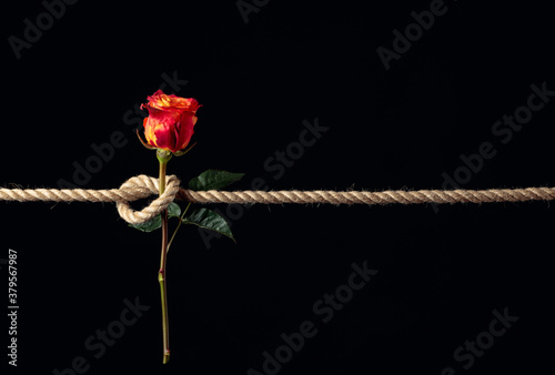 Fotografia Red rose is tied with a rough rope