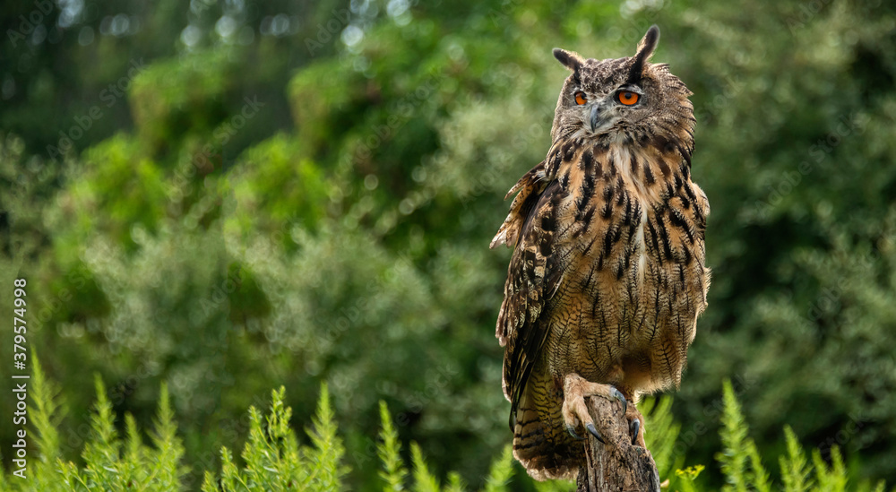 Fototapeta A great horned owl on a branch, portrait of an American eagle owl, cute owls, American owl in the forest