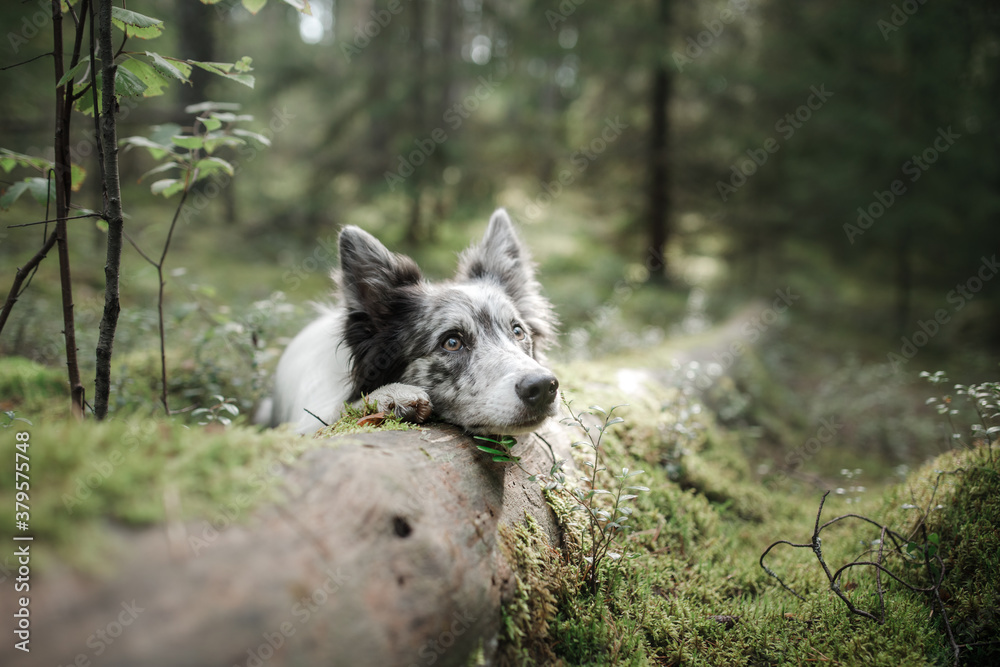 Dog in the forest. marble border collie in nature