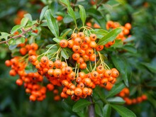 Red,orange Or Yellow Fruits Of Pyracantha Coccinea Bush