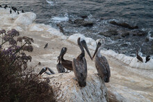 Mesmerizing View Of Pelicans On A Rocky Seashore