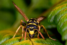 Paper Wasp / Heide-Feldwespe (...