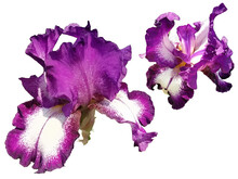Two Beautiful Graceful Iris Flowers Of Purple Color. White Background. Isolate. Stamens And Pistils, Curved Petals