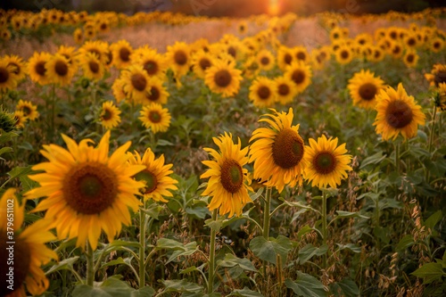 Obraz beautiful field with blooming sunflowers at sunset - fototapety do salonu
