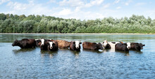Cows Watering In The River. An...