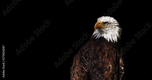 Photo Portrait of Bald eagle on black background (Haliaeetus leucocephalus), Wild proud bird, Symbol of America