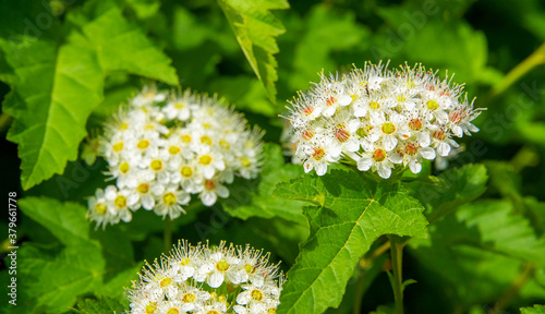 Foto White inflorescence of hawthorn flowers in the garden on a summer sunny day amon