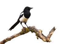 Eurasian Magpie, Pica Pica, Sitting On Branch Isolated On White Background. Small Black Bird With White Belly Observing On Bough Cut Out On Blank. Wild Feathered Animal Watching On Twig.