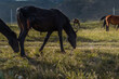 brown red horse in herd graze on grass in the light of sun, against the background of baikal mountains