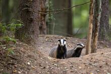 European Badger Couple(Meles M...