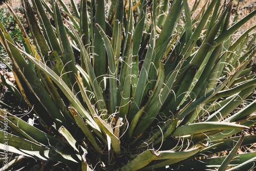 Fotomural Yucca plant in dry desert