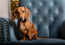 A Red-haired Dachshund Sits On...