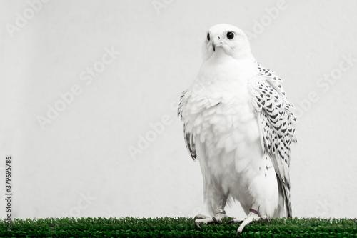 Cuadros en Lienzo gyrfalcon white falcon bird of prey