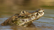 Close Up Of A Yacare Caiman In...