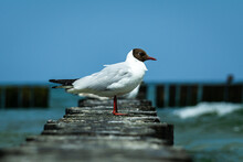 Adult Black-headed Gull (Chroicocephalus Ridibundus) Standing On A Wooden Breakwater In The Summer