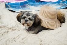 Shih Tzu Sunbathing On A Beach...