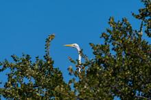 Great White Egret Peeking Over...