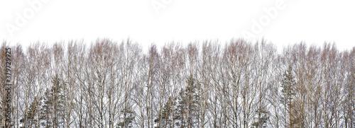 Fototapeta bare birch forest stripe on white obraz