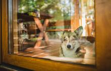 Welsh Corgi Pembroke Dog Looking Through The Door Window, Guarding The House