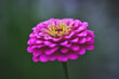 canvas print picture - Pink Zinnia in its flowering period close-up.