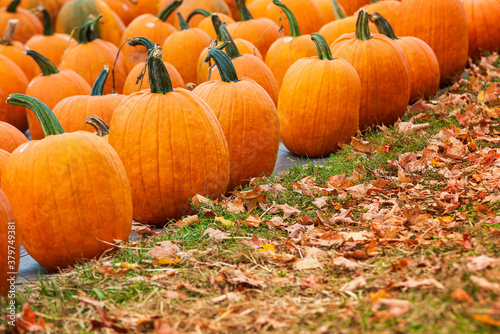Fototapeta Pumpkins for sale at a pumpkin patch in the fall. Fallen autumn leaves in the foreground. obraz