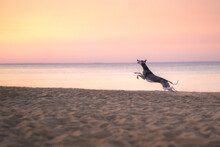 Greyhound Dog Runs Along The B...