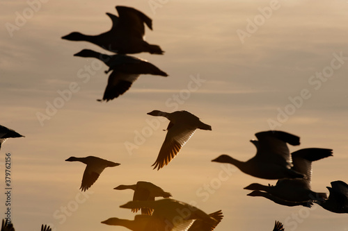Snow geese (Chen caerulescens) in flight at sunset;  Bosque del Apache National Fotobehang