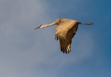 Adult Sandhill Crane In Flight...