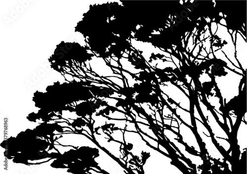 Tawhai New Zealand native Beech Tree - 379768963