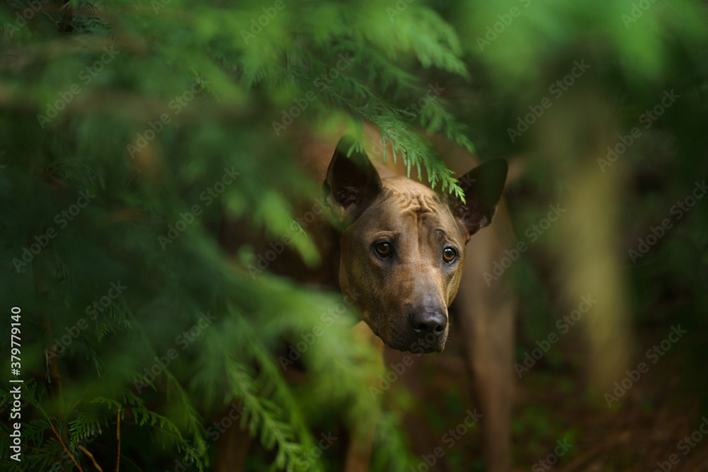 dog peeks out of the leaves. Thai Ridgeback in nature, in the forest. mysterious look. close-up portrait