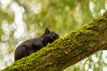 A Cute Black Squirrel Resting ...