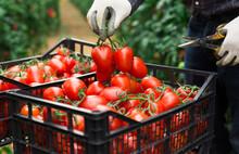 Harvesting Ripe Red Tomatoes I...